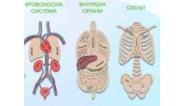 Анатомія Макет людини (фанера) 600*300мм (НУШ)